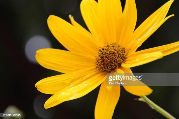 euryops pectinatus yellow flower, grey leaved euryops, asteraceae family - cris cantón photography fotografías e imágenes de stock