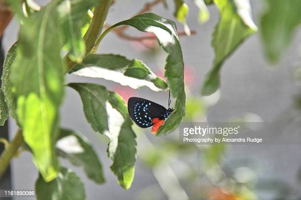 eusmaeus atala butterfly. - eumaeus stock photos and pictures