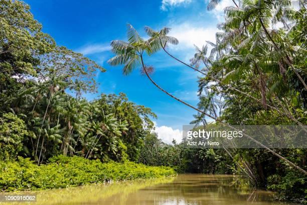 euterpe oleracea (açai), igarapé, amazon, belem do pará, para, brazil - amazonia imagens e fotografias de stock