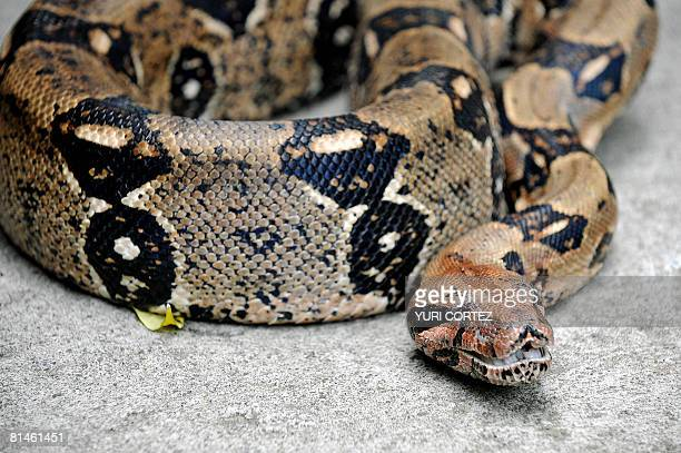 Eva a more than two meters long boa constrictor protects some of its thirtyone offsprings three days after birth on June 4 2008 at the National...