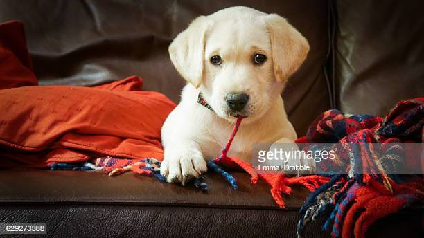 Eva the Labrador as a puppy