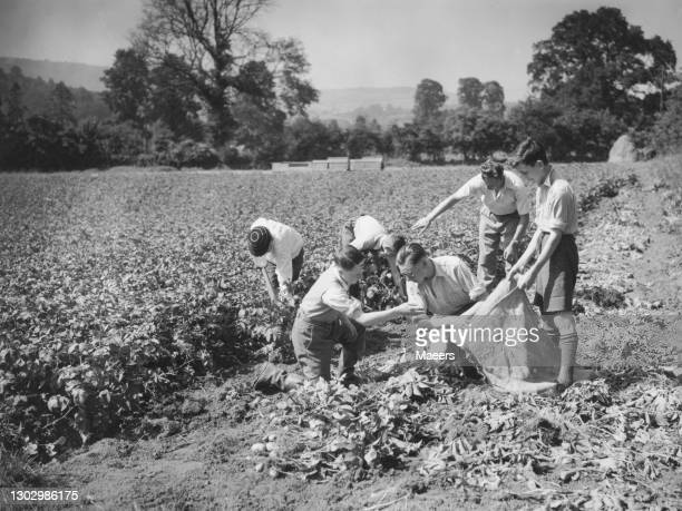 Evacuee schoolboys from the Five Ways Grammer School in Birmingham at work digging potatoes for the Dig for Victory campaign on 10th July 1940 at a...