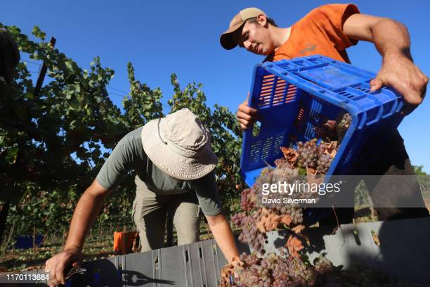 Evangelist Christians harvest Gewürztraminer grapes for the Israeli Pelter Winery believing that the road to Redemption passes through the vineyards...