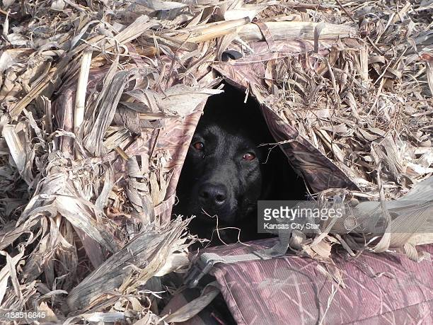 Even the hunting dog Ammo was concealed in a blind when a group of hunters waited for a flock of geese to come to their decoys