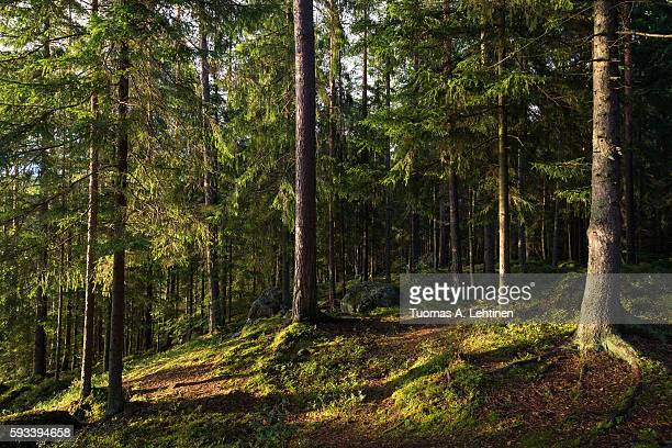 Evening at a lush and verdant forest in Finland in summertime.