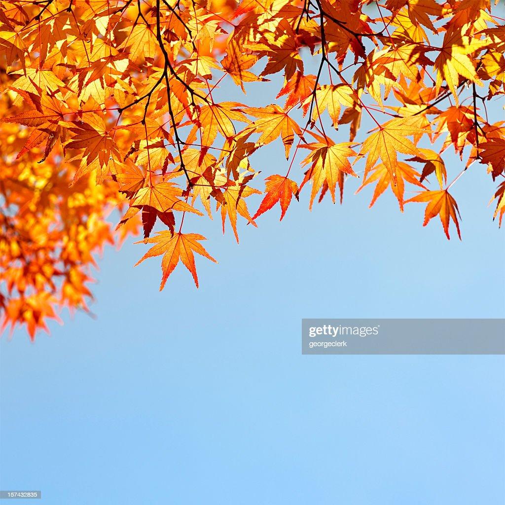 Evening Autumn Japanese Maple Leaves : Stock Photo