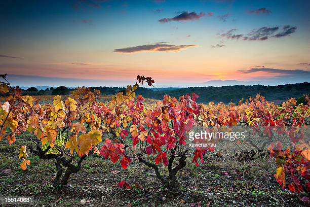 Evening autumn vineyards