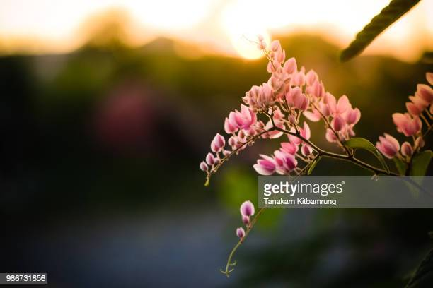 evening flower - peach blossom stock pictures, royalty-free photos & images