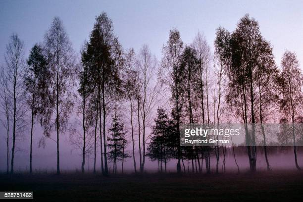 evening fog and birches - bialowieza forest imagens e fotografias de stock
