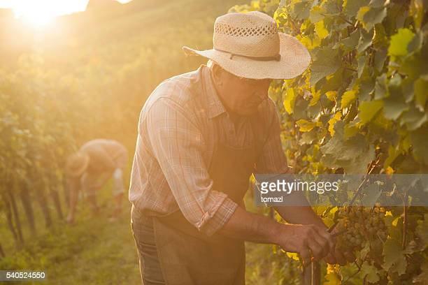 evening harvest - viniculture stock pictures, royalty-free photos & images