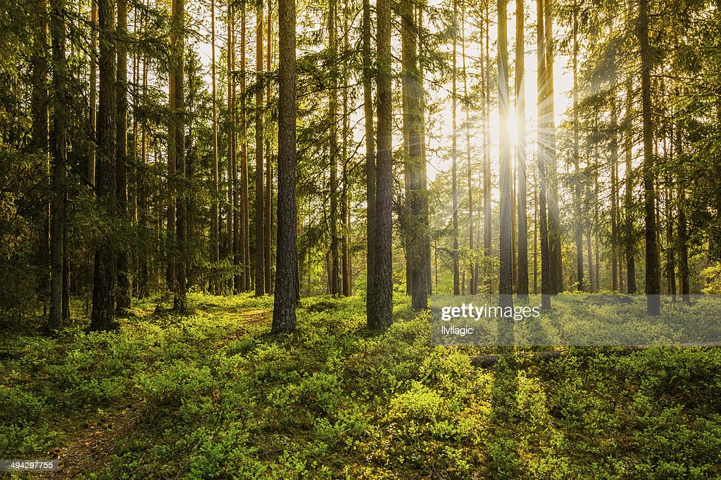 Free forest Images Pictures and RoyaltyFree Stock Photos