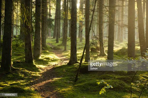 evening light and fog in a spruce forest with a small path in the summer - vaxjo stock pictures, royalty-free photos & images