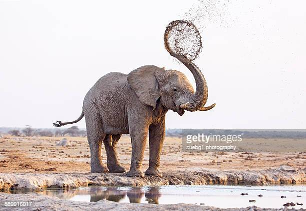 evening mud games - african elephant stock photos and pictures
