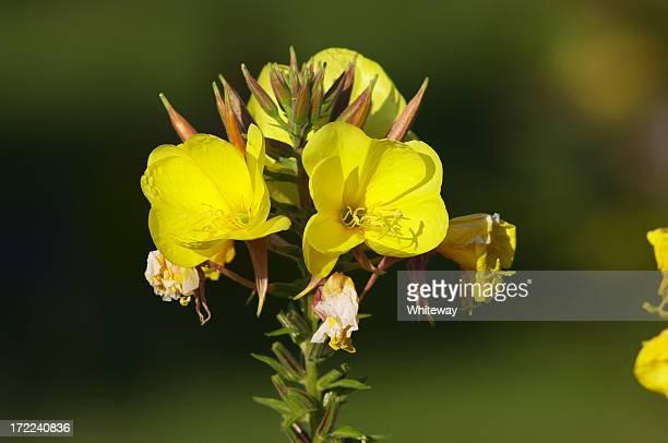 gelbe nachtkerze pale erythrosepala szene - ekzem stock-fotos und bilder