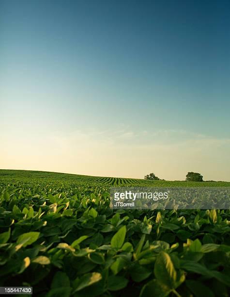 Evening Soy Field