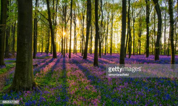 evening sun in the bluebell wood - buckinghamshire stock pictures, royalty-free photos & images