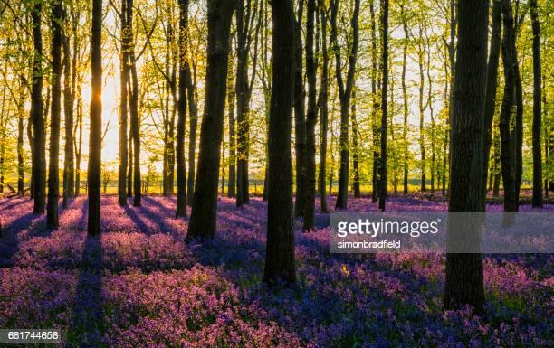 De avondzon In het Bluebell hout