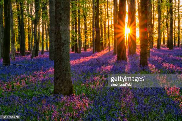 Evening Sun In The Bluebell Wood