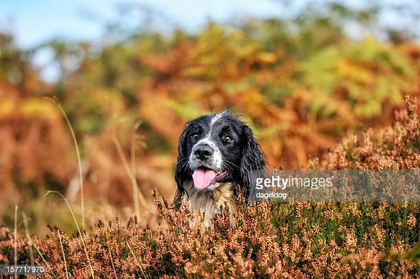 evening sun - springer spaniel stock photos and pictures