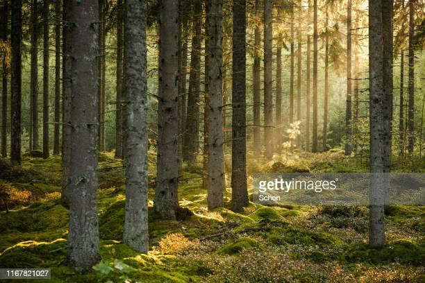 evening sun shining in spruce forest with a little pine in focus in the background in the summer - wald stock-fotos und bilder
