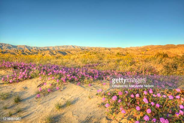 evening sunlight on desert verbena and mountain range - indio california stock pictures, royalty-free photos & images