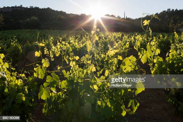 Evening sunlight shines through leaves and crops of a vineyard on farming land in the Corbieres wine region on 25th May in Lagrasse...