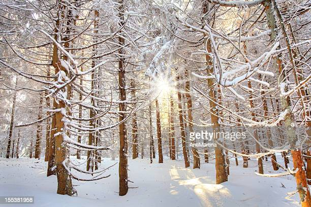 evening sunshine in winter forest