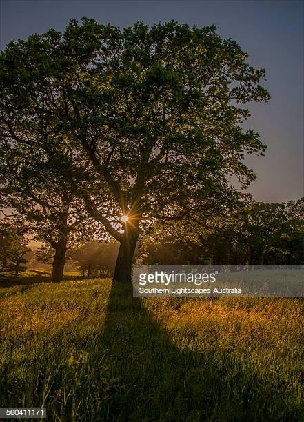 Evening Sunstar Creech Woodland