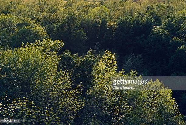 Evenoing sun on treetops in deciduous forest