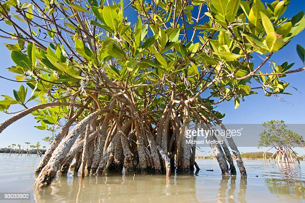 mangrove near calosa key in everglades national park, florida. - mangrove tree stock pictures, royalty-free photos & images