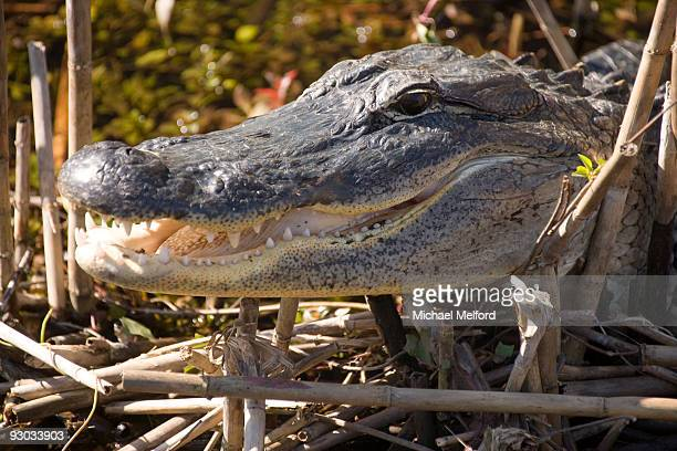 an alligator in everglades national park, florida. - anhinga_trail stock pictures, royalty-free photos & images