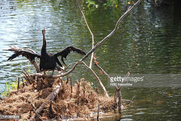 NBC NEWS Everglades National Park Pictured An anhinga bird along the Anhinga Trail of Everglades National Park in Florida on October 19 2008 Photo by...