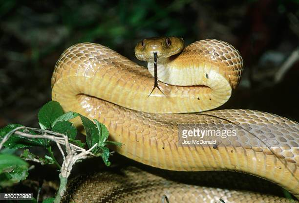 everglades rat snake - rat snake stock photos and pictures