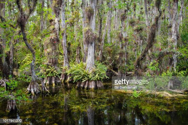 everglades tropical cypress swamp landscape showing trees, air plants, and ferns of the swamp reflecting in blackwater - epiphyte stock pictures, royalty-free photos & images