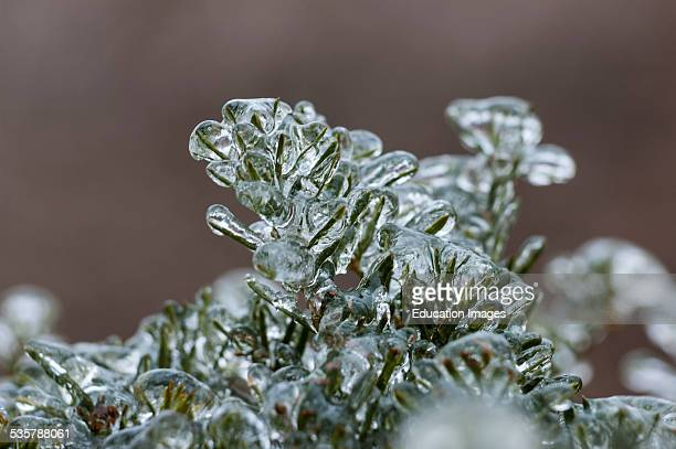 Evergreen plants encased in a heavy layer of ice from a winter storm in Kentucky USA