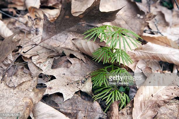 Evergreen sapling
