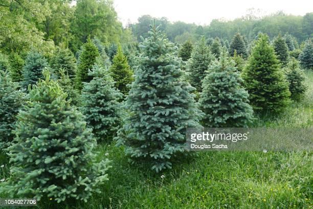 Evergreen tree farm