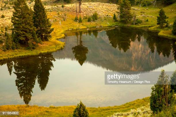 evergreen trees and hills reflected in a small pond in yellowstone national park in summer (smoke in the air contributes to golden color) - timothy hearsum stockfoto's en -beelden