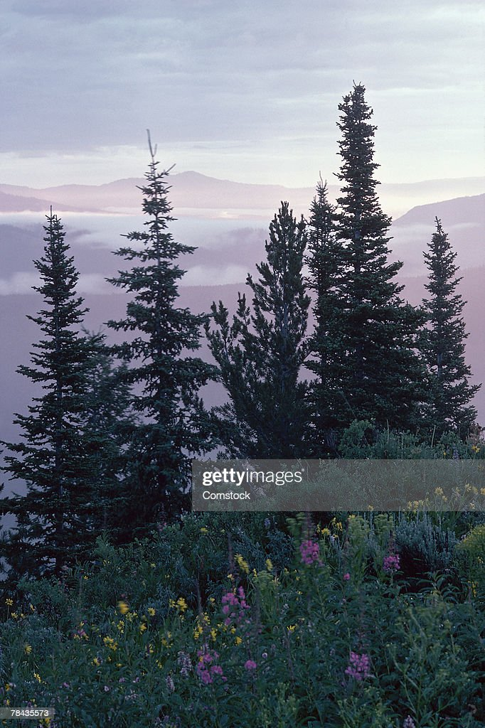 Evergreen trees and wildflowers in alpine meadow : Stock Photo