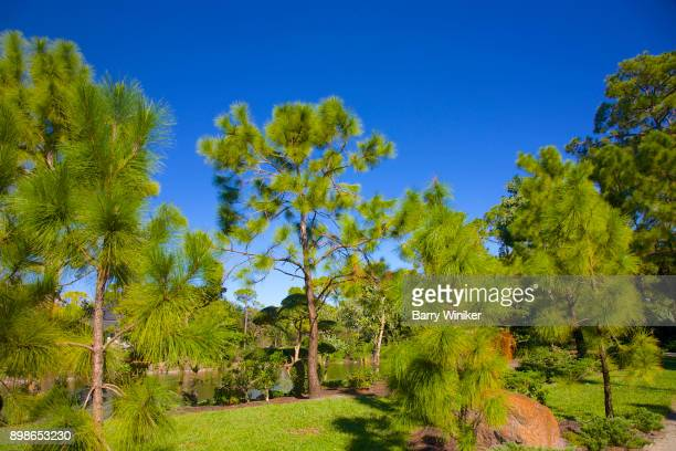Evergreen trees in Florida