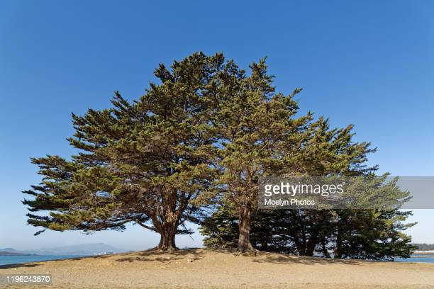 evergreen trees on a hill - east bay regional park stock pictures, royalty-free photos & images