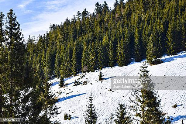 Evergreen Trees On Snow Covered Landscape
