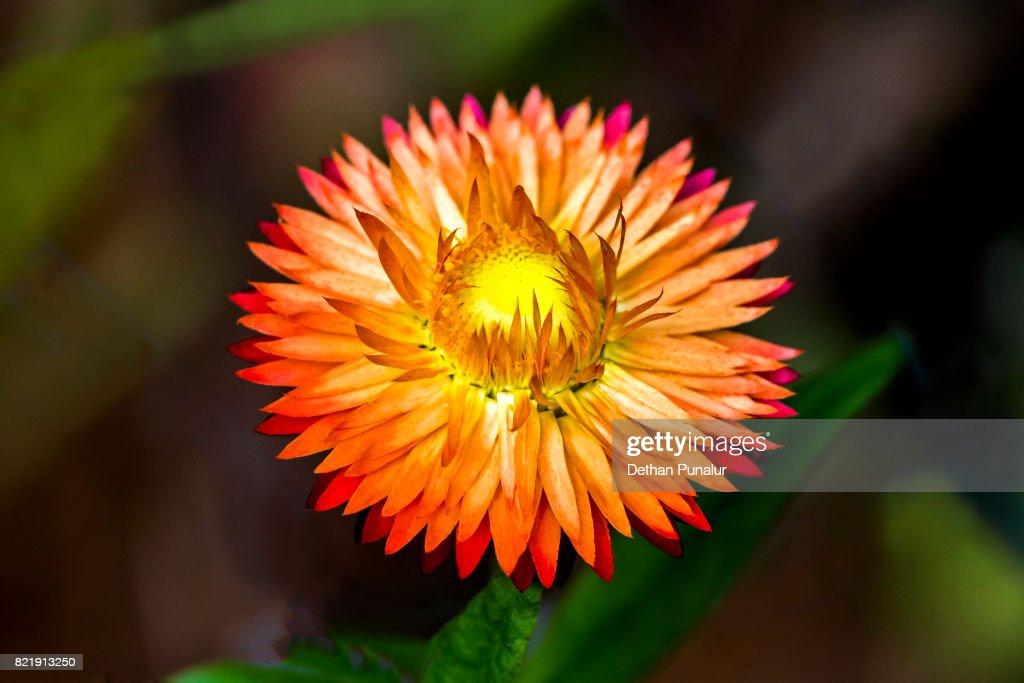 Everlasting flower : Stock Photo