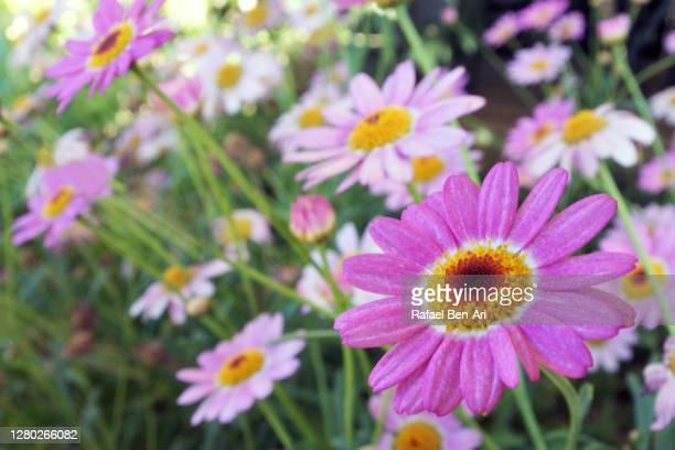 everlasting  wildflowers flowers - rafael ben ari - fotografias e filmes do acervo