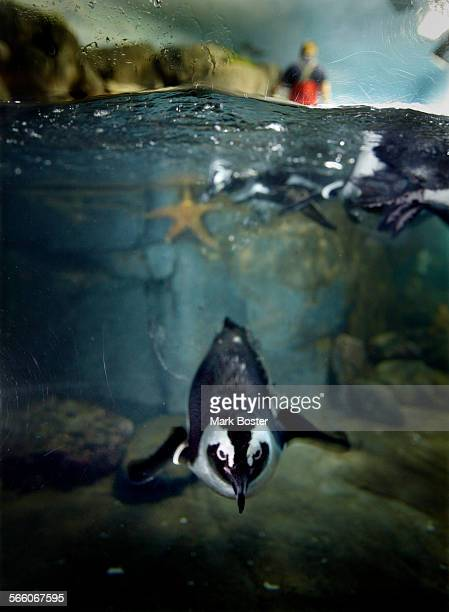 Every morning before opening the penguins swim and play while their habitat is cleaned by staff and volunteeres at The Monterey Bay Aquarium...