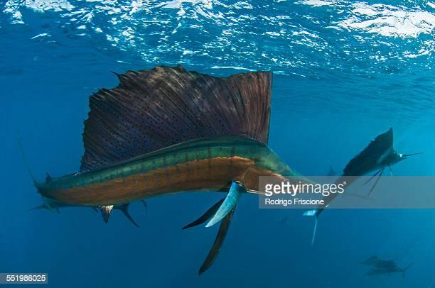 Every winter sailfish (Istiophorus albicans) gather to feed on sardine baitballs north of Isla Mujeres, Mexico