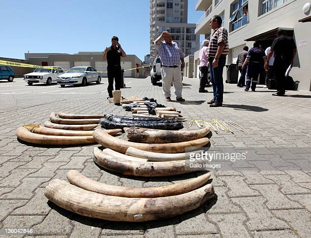 Evidence is collected as two Chinese nationals are arrested for the illegal possession of ivory elephant tusks and shark fins on December 20 2011 in...
