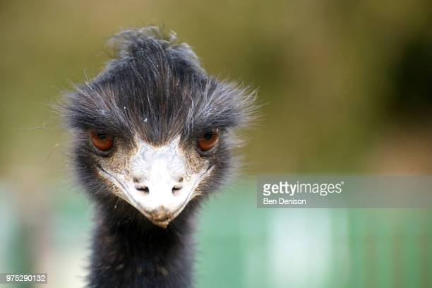 evil emu - beak stock pictures, royalty-free photos & images