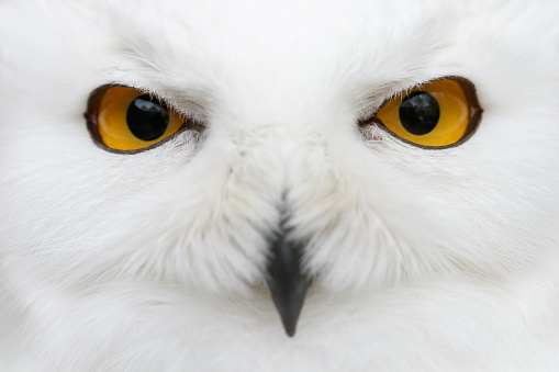 Evil eyes of the snow - Snowy owl (Bubo scandiacus) close-up portrait 664761518