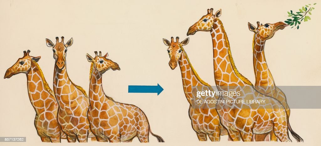 only giraffes with the longest necks survive, passing on ...